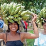 Bananas, entre produção orgânica e agrotóxicos