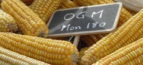 """Variedade """"Mon 180"""", da Monsanto. Nos EUA, antes contrários, rotulagem volta à pauta. Na China, Academia Militar de Ciências lança alerta"""