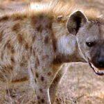 Celso Amorim: sobre hienas e vira-latas