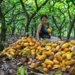 Cacau orgânico: para reverter devastação da Amazônia