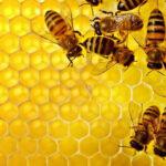 Para viabilizar nova Agricultura, as abelhas