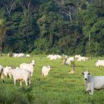 Boi, a arma dos devastadores contra a Amazônia