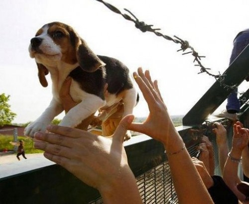 131018-Beagle