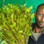 <i>Qat</i>, a nova droga que desafia os proibicionistas